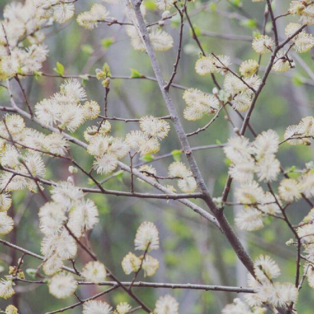 """#lähdinkäveleen aamuseitsemältä, koska yöllä metsässä oli satanut huumaavaksi, raikkaan puhtaaksi tuoksuksi  ja aurinko kutitteli pilvipeitteeseen valotusaukkoja.   Hanami pajuilla, sarjaan """"notes about trees"""". #pajunkissat #paju #kevät #luonto  #willow #spring #hiking #photographyeveryday"""