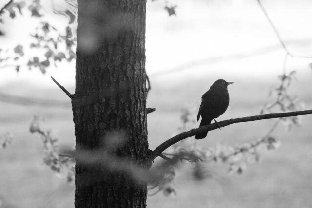 Rastaan musta poski, ei vielä muita matojahdissa.  #mustarastas #kesäaamu  #blackbird  #notesabouttrees #filter