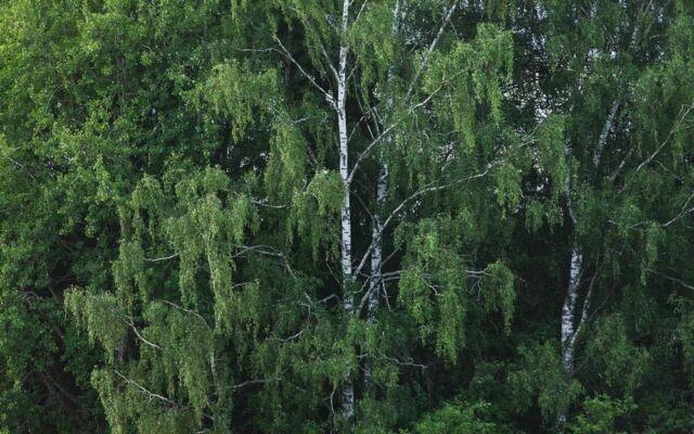 Heinäkuun vei helle. Sateet tuulettavat pölyt juurilta. Uutta raikasta metsissä.  #puut #trees🌳#koivu #birch #woods #outdoors #cycling