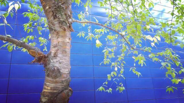 #suomenluonnonpäivä #kaupunkiluonto #väriyhdistelmät  #colorcombination #koivu #puu #birch  #tree #architecture  #blue  #outdoors